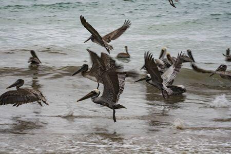 Brown pelicans sit in ocean in shallow water, or take flight in Puerto Lopez, Ecuador Banco de Imagens