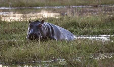 A hippo looks at the photographer as takes a break from eating in the marsh of Botswana