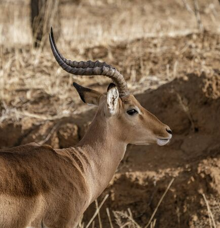 An adult male impala looks around in Namibia Standard-Bild - 128473954