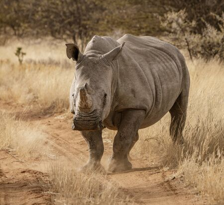 Single white rhinoceros stands on a dirt road in Namibia Standard-Bild - 128473957