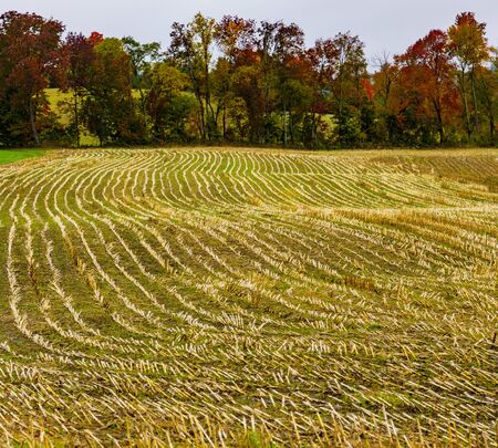 Rows of yellow stalks are all that are left on a recently harvested corn field in Vermont Standard-Bild - 128473956