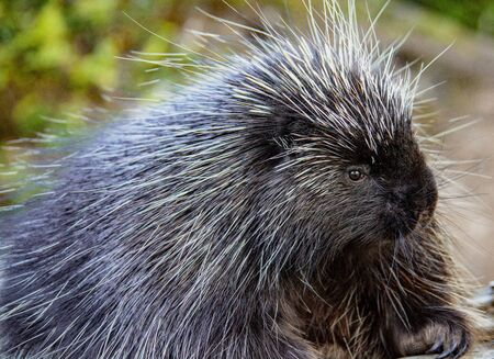 Close-up of porcupine at Kroscel Films Wildlife Center, in Skagway, Alaska Standard-Bild - 128473967