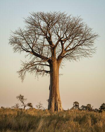 Baobab trees stand solitary in the desert of Botswana