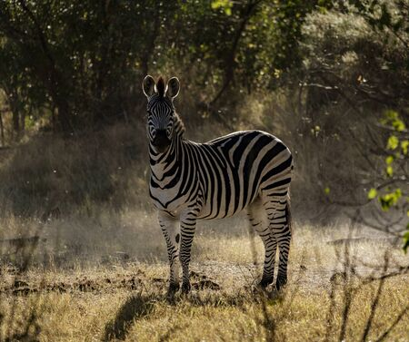 A zebra pauses from eating to look at the photographer in Botswana
