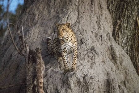 A leopard climbs partly up a baobab tree to get a further view while looking for prey in Botswana
