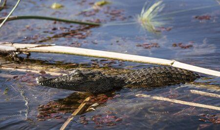 A crocodile prowls the river in search of food in Botswana Standard-Bild - 128584527