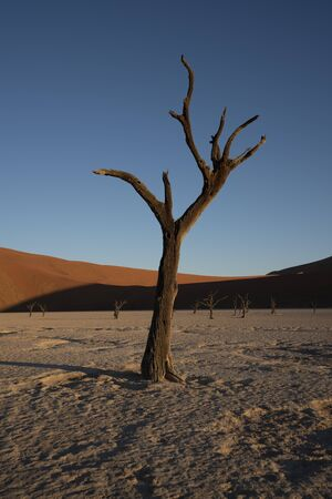Dead camelthorn trees sitting in a salt pan in Deadvlie in Namibia Stock Photo