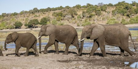 Family of elephants walks along rivers edge