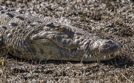 Close-up of the head of a crocodile laying on a river bank in Namibia
