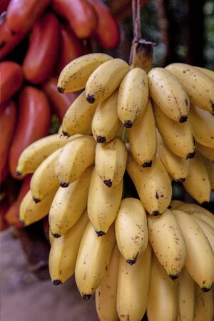 A cluster of ripening bananas or plantains for sale on a fruit stand in Siem Riep, Cambodia. Standard-Bild - 128585349