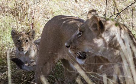 Mother lion turns to check that her cub is following properly in Botswana