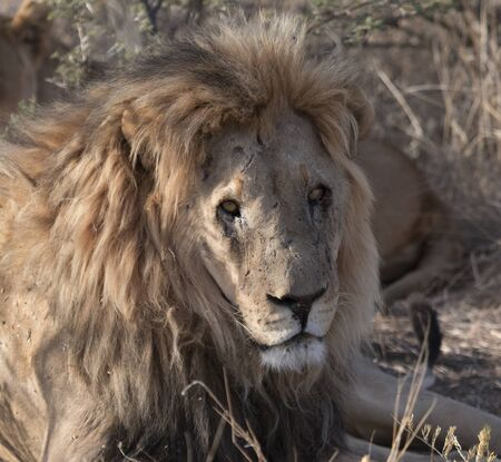 Adult male lion lies down in the short dry grass of Botswana Фото со стока