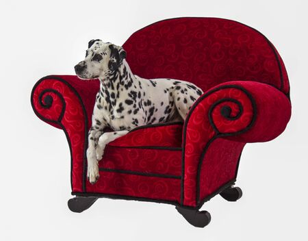 Dalmatian Sitting on Red Chair relaxed pose Imagens