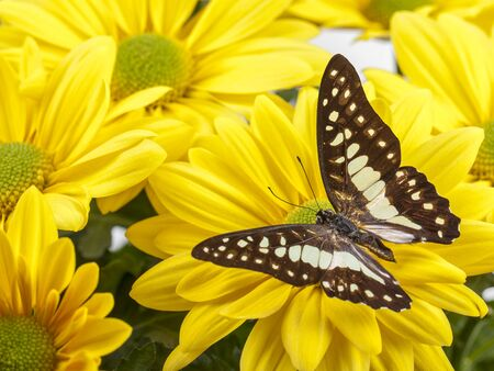 Common Jay Butterfly on Yellow Chrysanthemum flower