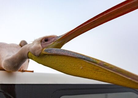 A Great White Pelican stis on the roof of a boat and opens his mouth for food in Namibia Stock Photo