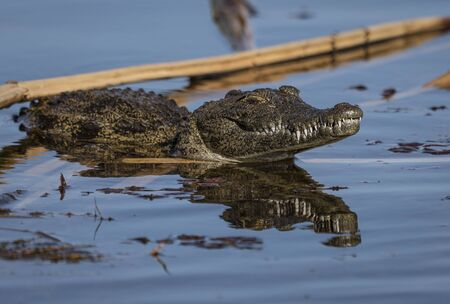 A crocodile prowls the river in search of food in Botswana