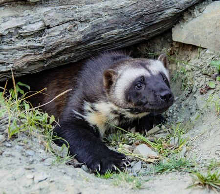 Wolverine Coming Out of Burrow at Kroschel Films Wildlife Center in Skagway, Alaska Imagens