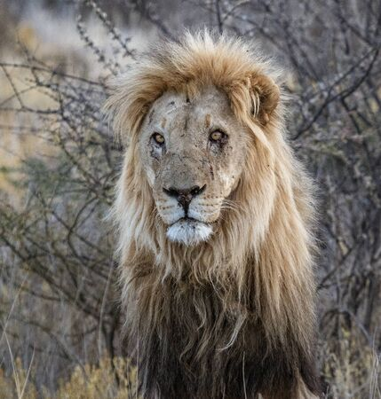 Adult male lion stands in short dry grass in Botswana Imagens