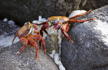 Sally Lightfoot Crab On Rock in Galapagos Islands.