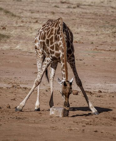 Giraffe bends over to lick the salt off a rock in Namibia Banco de Imagens
