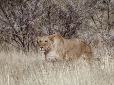 Female lion stands in short dry grass, looking for more food in Botswana Imagens