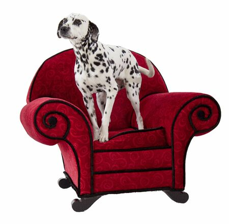Dalmatian Standing on Red Chair at attention