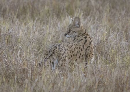 Sevale cat briefly looks behing him, while stalking in short dry grass in Botswana