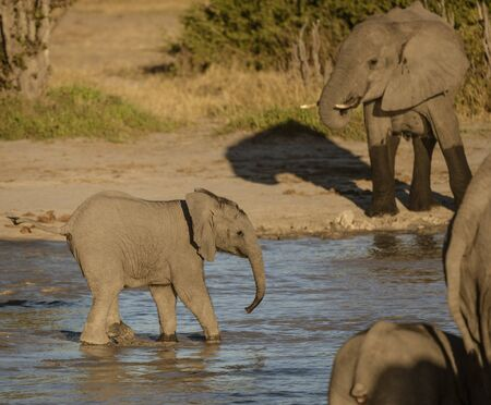 Baby elephant walks towards rest of group in a watering hole in Botswana Imagens