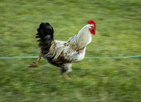 Speed Blurred Rooster Runs Over Grass Lawn.