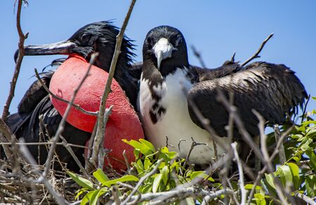 frigatebirds mated pair with male showing inflated red sac Imagens