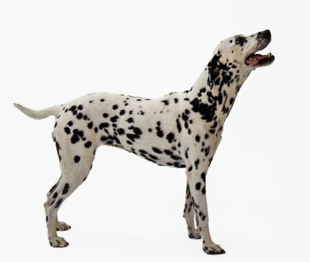 Adult Dalmatian Standing on White Background isolated
