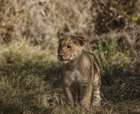 Lion cub comes out of his den to look around in Botswana Imagens