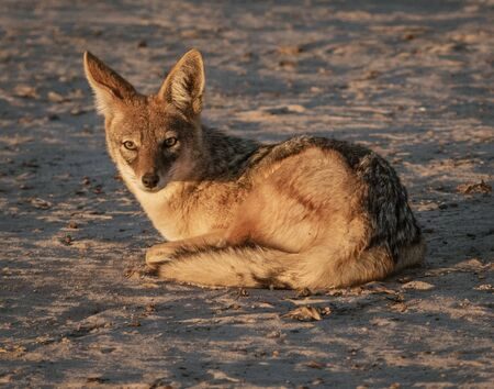 Jackal sits on the sand, looking at photographer in Namibia Imagens