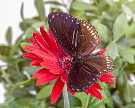Striped Blue Crow Butterfly Euploea sylvester harrisii on Red Gerbera Daisy Imagens