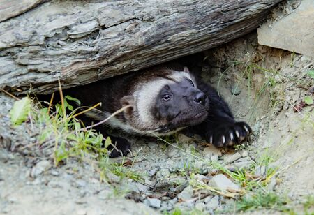 Wolverine Coming Out of Burrow at Kroschel Films Wildlife Center in Skagway, Alaska 写真素材 - 131705405
