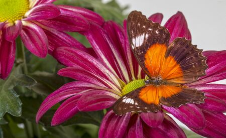 Red Lacewing Butterfly on Red Mum flower