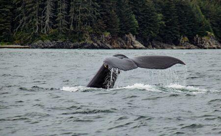 Humpback whale diving off the coast of Juneau, Alaska