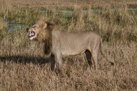 Adult male lion stands in short dry grass in Botswana
