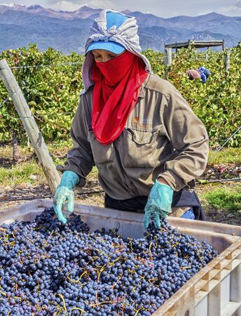 Mendoza, Argentina - Mar 2015 - These grapes have just been harvested, and are now being prepared to load into the crusher. Bodega Catena Zapata winery