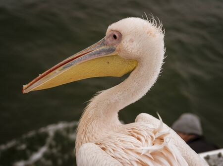 Profile of a Great White Pelican in Namibia