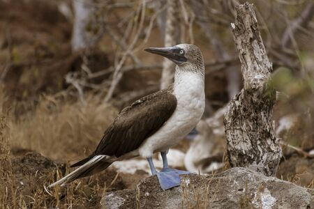 Blue Footed Booby Male Stands And Surveys His Terriroty On Galapagos Island. 免版税图像