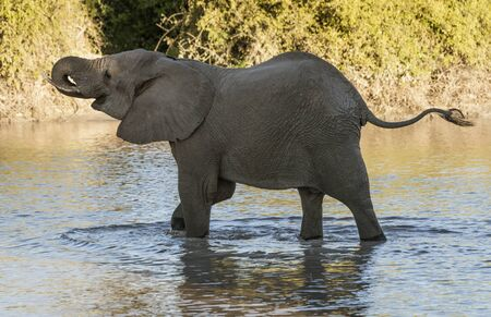 Baby elephant learns to use his trunk to drink water from small lake in Botswana 免版税图像