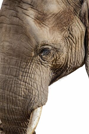 Elephant Face Isolated on White closeup view