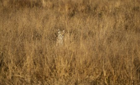 Leopard is nearly invisible in the short dry grass, as he stalks his prey in Namibia