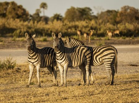 A small  dazzle of zebras look at the photographer in Botswana 免版税图像