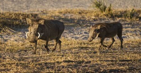 Two warthogs trot along the nearly barrent ground in Botswana