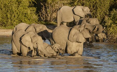 Family of elephants all drink from a local watering hole in Botswana 免版税图像