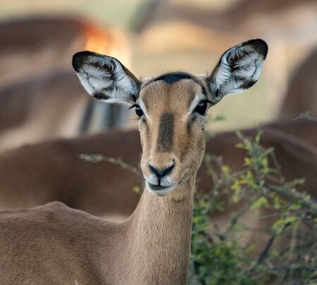 A female impala pauses from eating to look at the photographer in Botswana