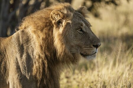 Adult male lion stands in short dry grass in Botswana 免版税图像