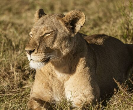Adult female lions lies down, but constantly scans the horizon for food or threats in Botswana